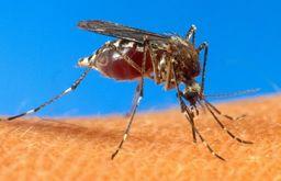 Moustiques phlébotomes vecteur de Leishmaniose