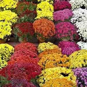 Le chrysanthème est nocif pour les chiens et les chats