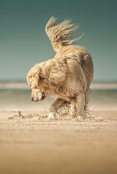 Un Golden Retriever à la plage