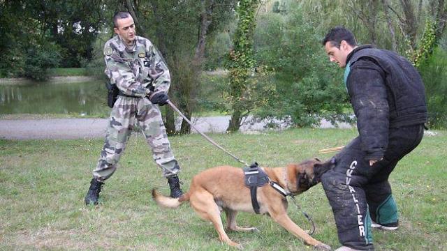 Berger Belge chien policier