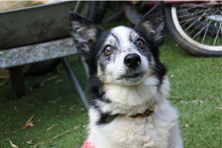 Kia le plus vieux chien du monde