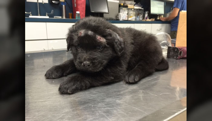 Brody le chiot Labrador