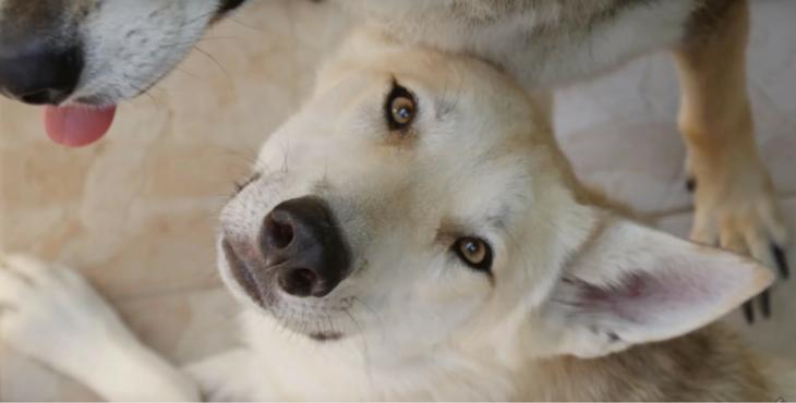 Snow le chien loup condamné