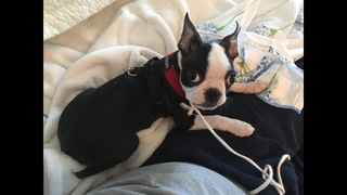 Maggie la Boston Terrier