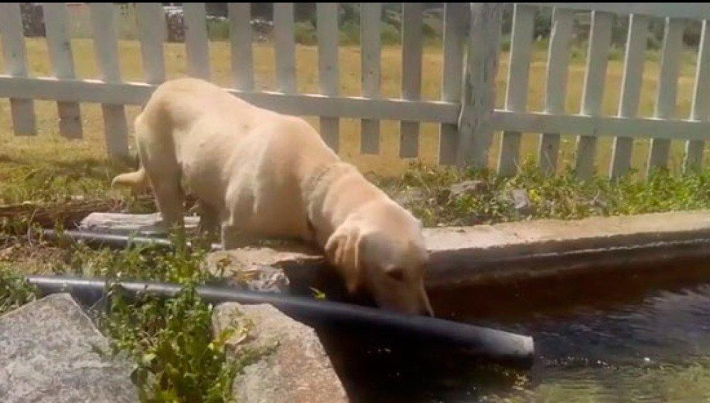 Max le Labrador