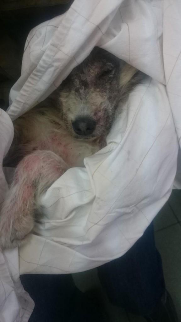 Alfeiya la chienne sauvée et adoptée