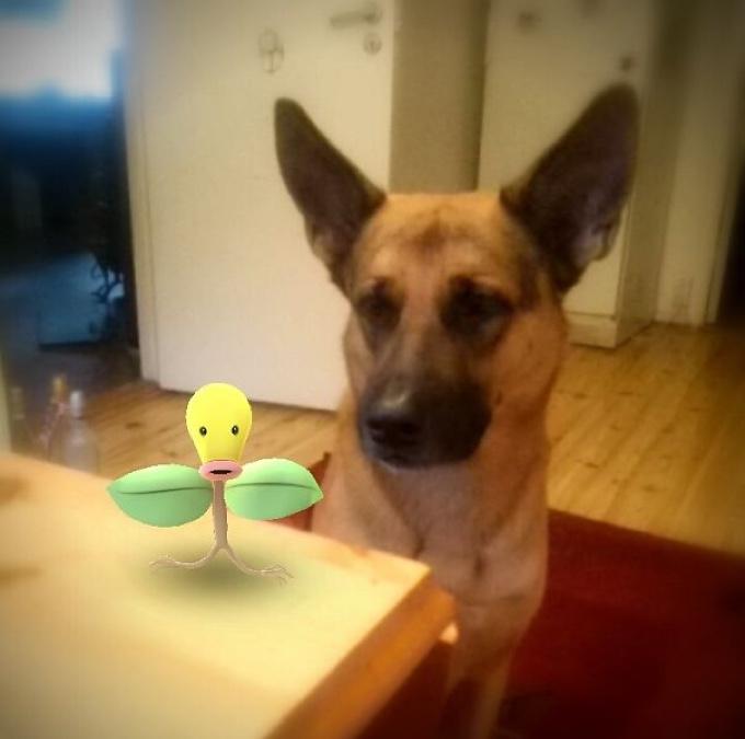 Berger Allemand et Pokemon Chetiflor