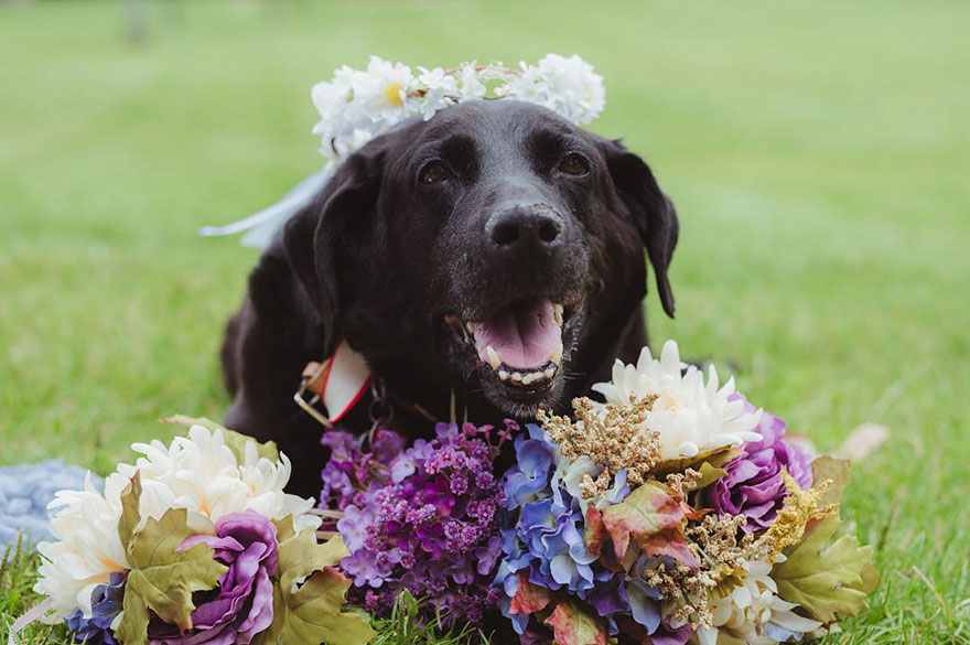 Charlie le labrador au mariage