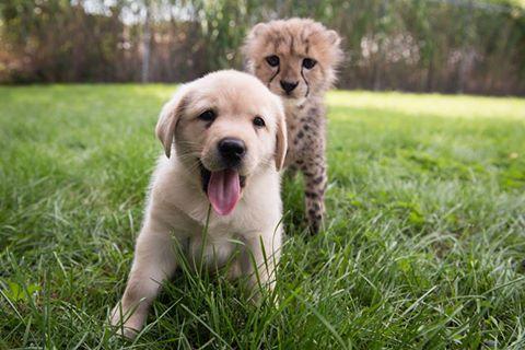 Le guépard et le chiot