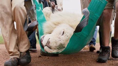 Lion blanc Aslan et Kevin Richardson