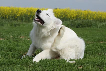 puces tiques chien