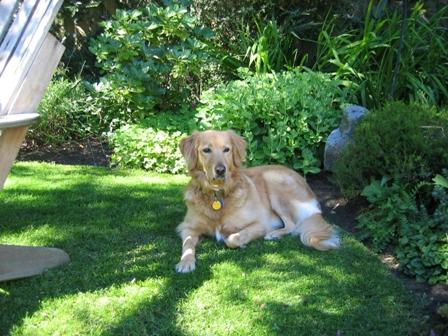 Alfie le Golden Retriever