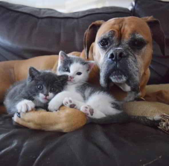Suzie la Boxer et les chatons