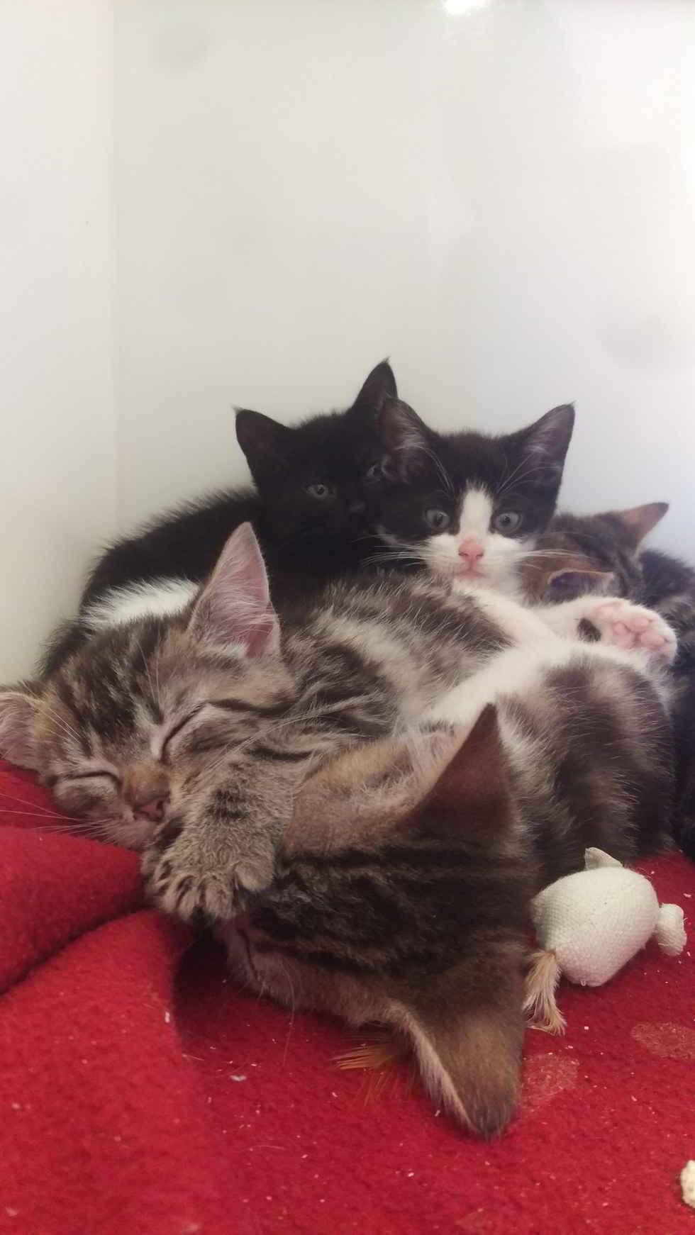 Les chatons/ Photo Amy De-Keyzer RSPCA