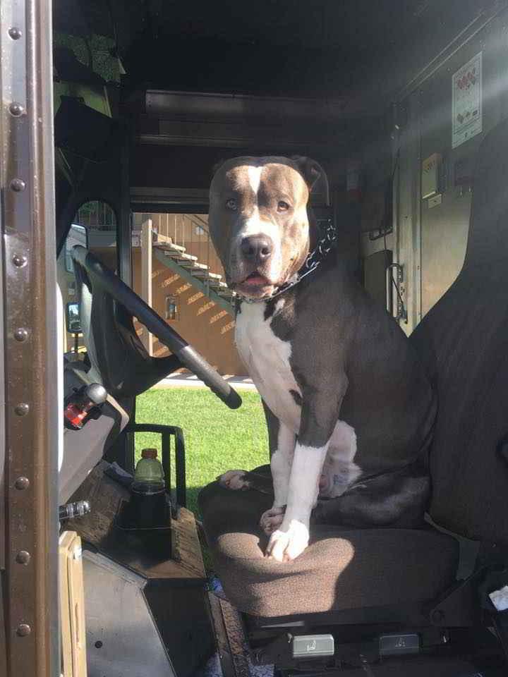 Leo le pitbull dans le camion UPS