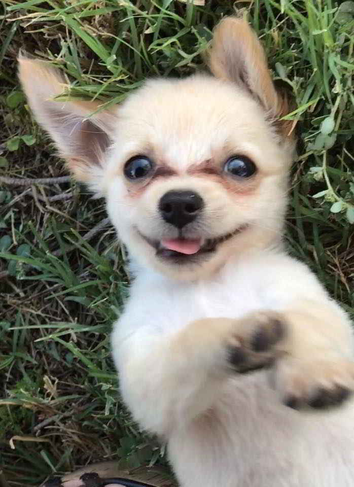 Chewy le chiot Chihuahua
