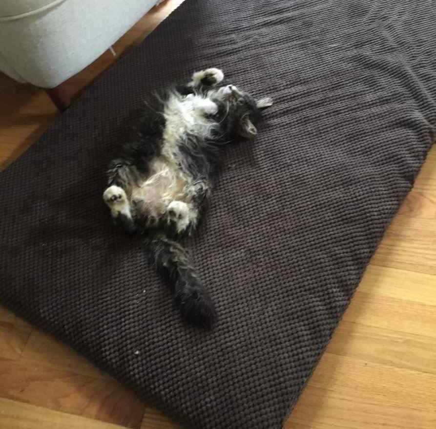 Ray le chaton Maine Coon aveugle
