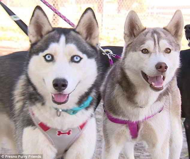 Les deux Huskies Jada et Layla