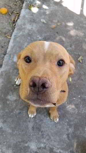 La chienne Pitbull et ses chiots