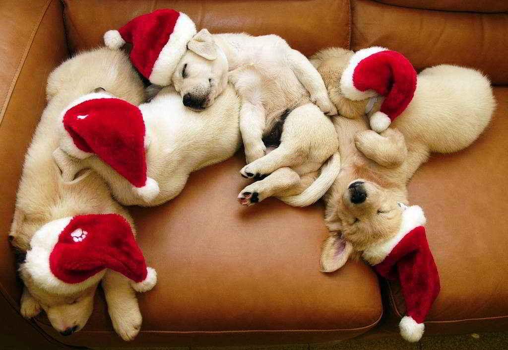 Chiots de Noël
