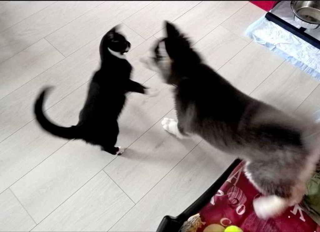 Le chat Jazz et Dakota le Husky