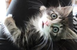 Kimbo le chaton