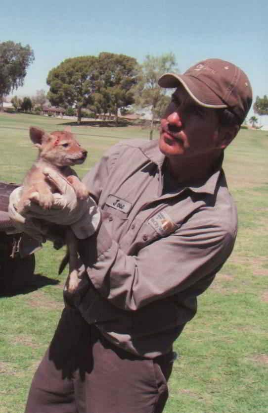 le bébé coyote