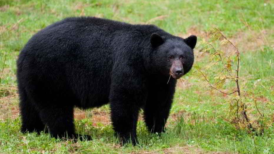 Un ours brun attaque un chien