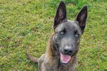 Simba le chien policier