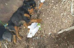 La chienne rottweiler abandonnée