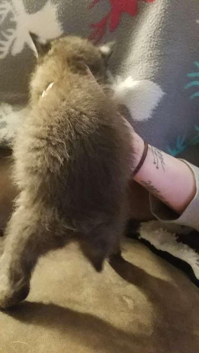 Le chaton qui est en faite un lynx