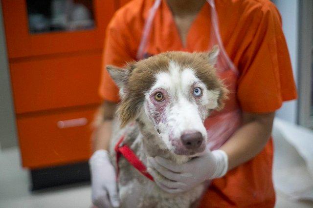 La chienne husky en mauvaise santé