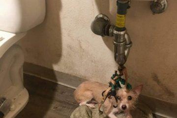 Petite chienne ligoté à l'évier