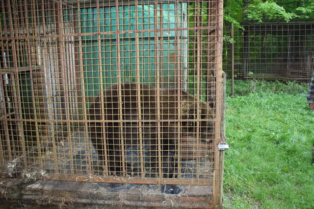 Kvitka, l'oursonne prisonnière