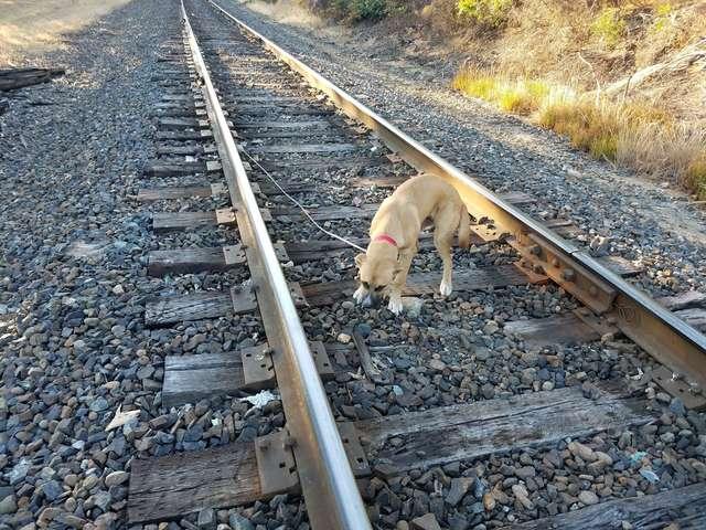 Le chien sur le voie ferrée