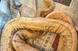 Ra, le serpent malade