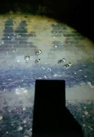 Les canetons effrayés dans le tunnel