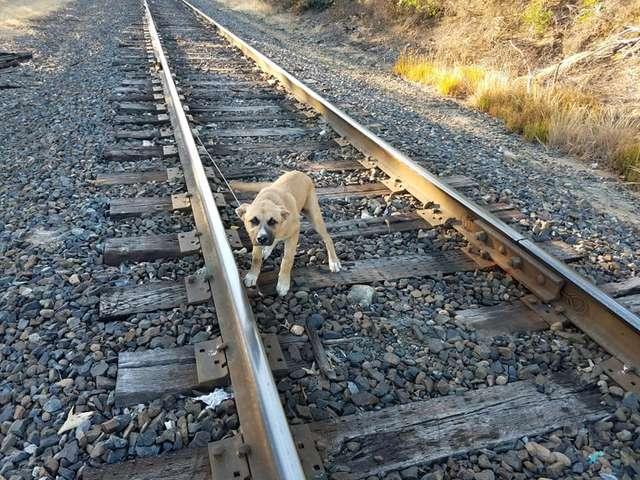 Le chien sur la voie ferrée