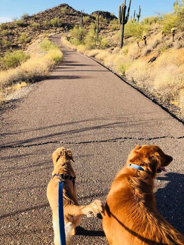 Todd et Copper en promenade avec leur maîtresse