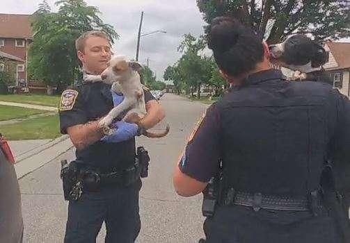 Les policiers libèrent les quatre Pit bull