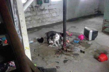Les quatre Pit bull retrouvés ligotés dans le sous-sol