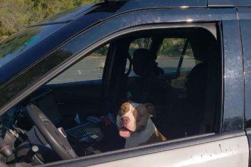 La chienne Pitbull dans la voiture du policier