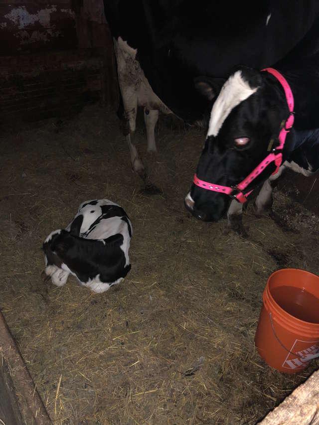 La vieille vache et son veau adoptif