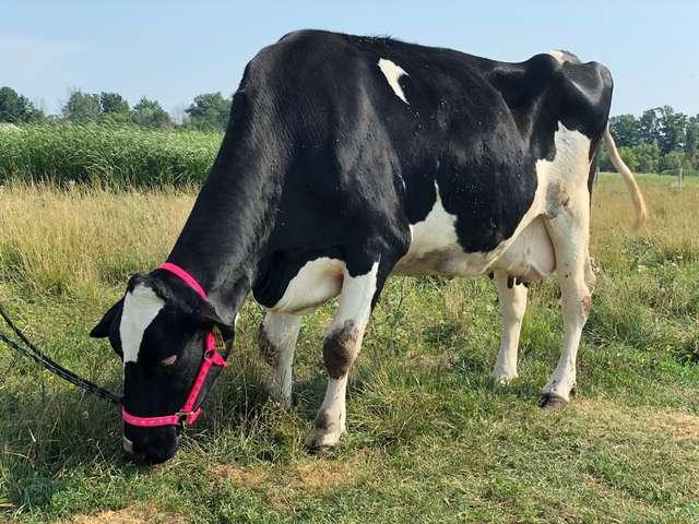 La nouvelle vie heureuse de la vieille vache