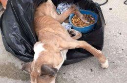 Hope, la femelle boxer retrouvée dans un sac poubelle