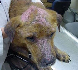 Symptômes leishmaniose tête chien