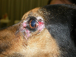 Symptômes leishmaniose oeil chien