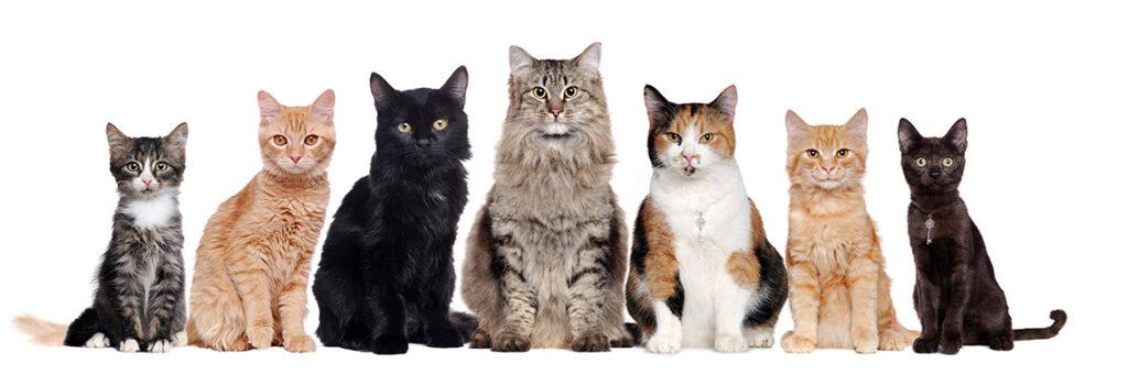 différentes races de chat