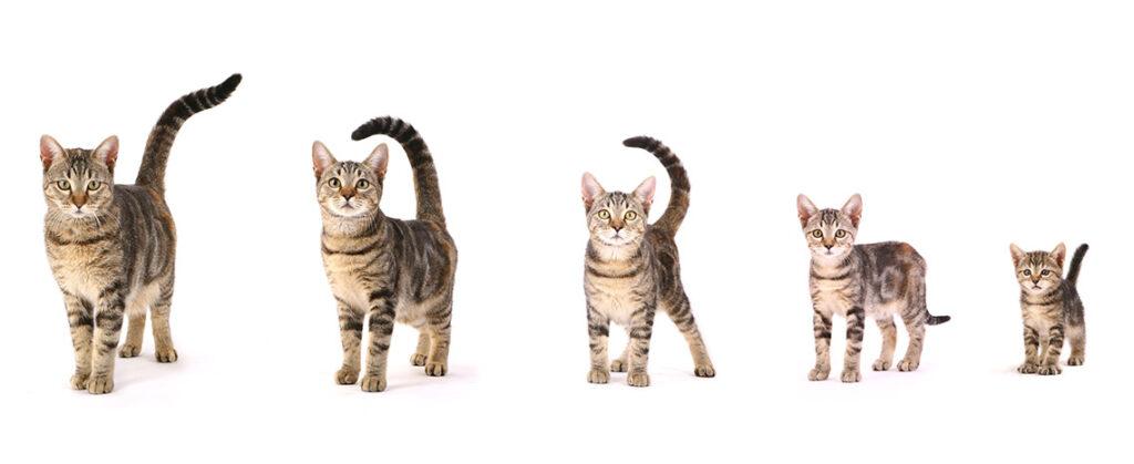 Evolution croissance chat