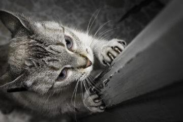 couper griffe d'un chat